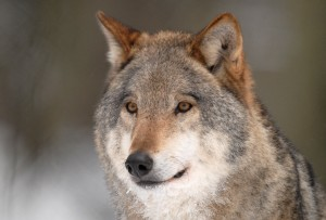 print wolf 5 sietske