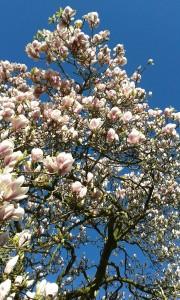 magnolia, 2