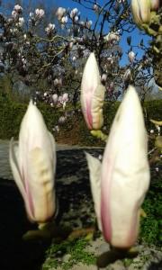 magnolia SSR